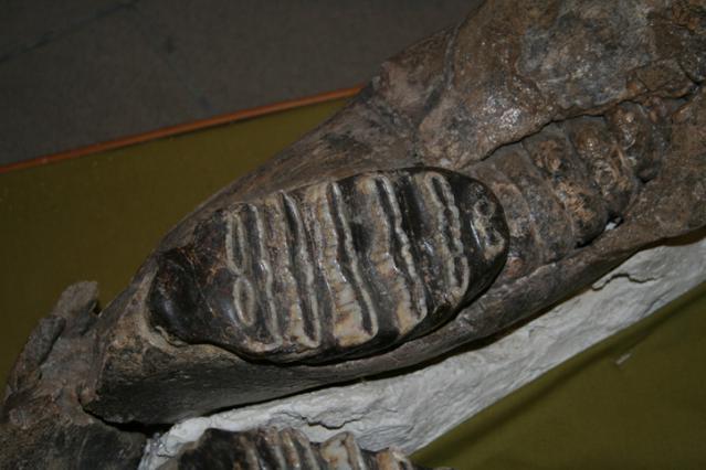 Molaires du Mastodonte d'Auvergne