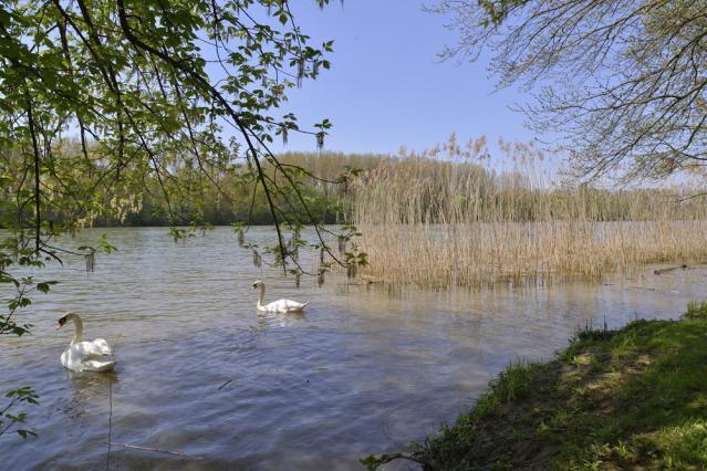 Cygnes sur la Saône