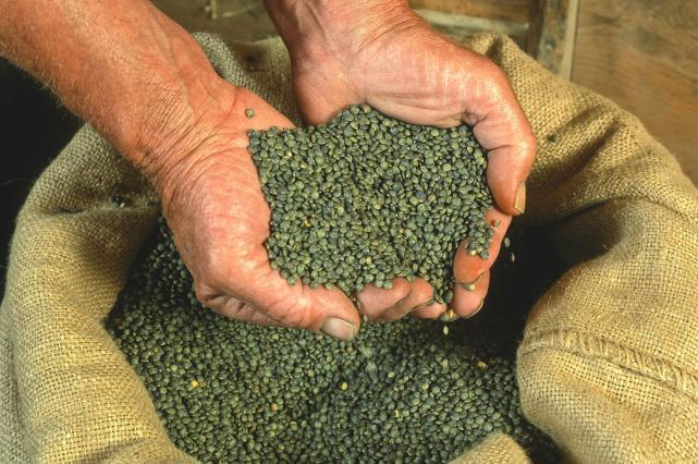 Récolte de lentilles vertes du Puy