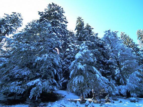 Epicéa sous la neige