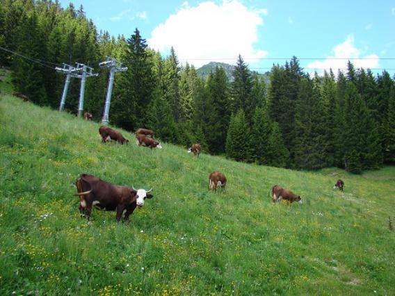 Vaches Abondance sous une remontée mécanique