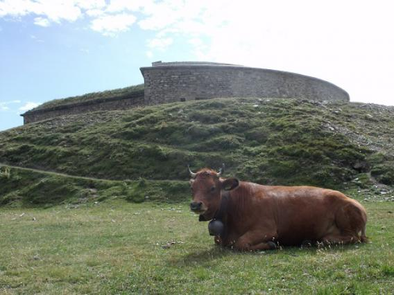 Mont-Cenis, fort de Ronce et vache Tarine
