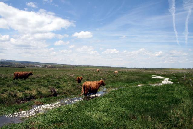 Narse de Lascols avec ses vaches hidlangs
