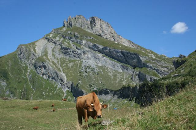 Alpage Roselend, vaches Tarine