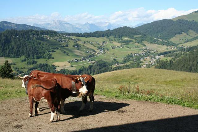 Alpage Manstus, Crest-Voland, vaches Abondance