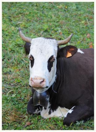 Vache de race Abondance