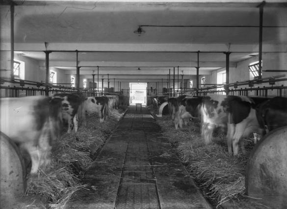 Vue intérieure de la vacherie